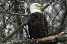 Bald eagles nesting in Pittsburgh's Hays area (less than a mile from downtown) have 3 eggs!  Live cam http://www.post-gazette.com/sports/outdoors/2014/01/31/LIVE-Bird-s-eye-view-of-Pittsburgh-s-bald-eagles/stories/201401310148