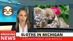 Sloths in Michigan Unique Sloth Experience Michigan Article by Sloth of... Adventure Farm, Sloths, Michigan, Articles, Unique, Animals, Animales, Animaux, Animais