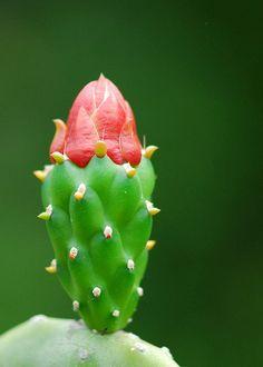 Figuier de Barbarie (Fleur)