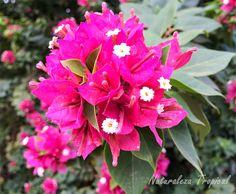Variedad roja de la flor de papel, Bougainvillea glabra