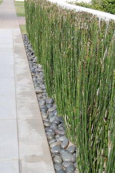 Horsetail bamboo for our retaining wall area- cover our chain link fence: