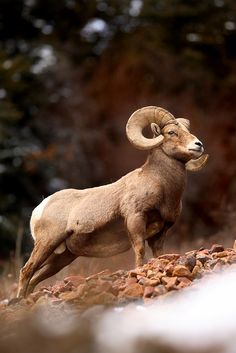 ✯ King of the Mountain: Rocky Mountain Bighorn Sheep Ram - Silver Plume, Colorado. I've always been a fan of bighorn sheep. Its fun to watch the crazy stuff they climb on, but usually really hard to get near. By ~Nate-Zeman ✯ Amazing Animals, Majestic Animals, Animals Beautiful, Exotic Animals, Nature Animals, Animals And Pets, Wild Animals, Big Horn Sheep, Mundo Animal