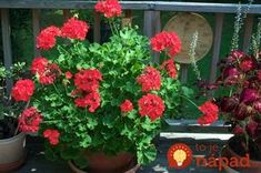 Two Sisters Gardening Geranium Plant, Flower Boxes, Flowers, Plant Information, Geraniums, Korn, Gardening, Ale, Plants