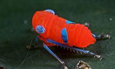 "colorsoffauna: "" Vibrant leafhopper nymph by pbertner on Flickr. """