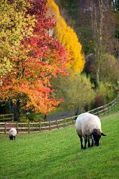 BODENHAM ARBORETUM, WORCESTERSHIRE: SHEEP IN FIELD WITH AUTUMN COLOUR