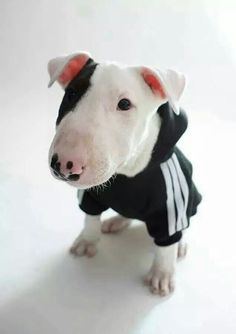 Cutie bull terrier puppy in a sporty hoodie. Pitbull Terrier, I Love Dogs, Cute Dogs, Mini Bullterrier, Socializing Dogs, Amor Animal, English Bull Terriers, Dog Sweaters, Beautiful Dogs