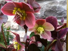 I like this Hellebores. (AP Garden Care) http://www.apgardencare.com/