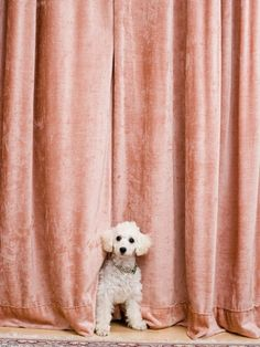 size: Photographic Print: Poster of Birgid Allig by Birgid Allig : Lab Puppies, Puppies For Sale, Mini Poodles, Toy Poodles, Standard Poodles, Peach Tumblr, Junie B Jones, Small Poodle, Shades Of Peach