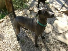 Blue Lacy, the official dog of Texas The Lacy is a working breed, and does much better when given a job, which allows them to burn off excessive energy. Work they excel at includes herding livestock, blood trailing or tracking,[4] treeing game, running trap lines, and hunting wild hogs.