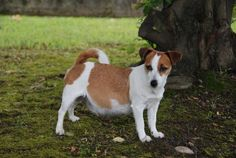 Cane Jack Russel Terrier