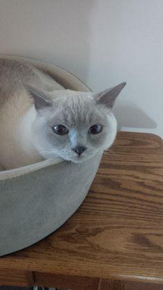 Oliver Cat | Pawshake