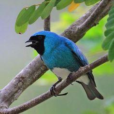 Azulejo Golondrina, Swallow Tanager. Tersina Viridis. #thraupidae #passeriformes #bird #ave #birdingphotography #birds #animal #nature  #birdwatching #birding #wildlife
