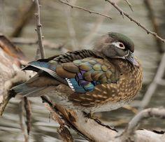Fenale Wood Duck