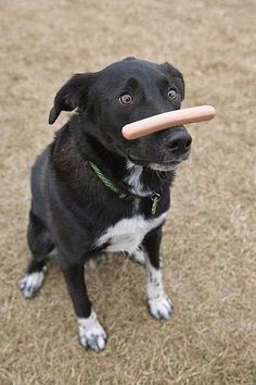 .What a good dog... you can almost see his thought process.... theres a hot dog on my nose and I want it... omg I want.. .have to wait.. have to wait... WHY ARE YOU MAKING ME WAIT?!