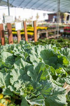 Ornamental Cabbage, Fall Planting, Citrus Heights, Kale, Vegetables, Green, Plants, Collard Greens, Vegetable Recipes