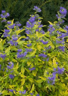 """Caryopteris Lil Miss Sunshine. Cross between Petit Bleu and Sunshine Blue delivers shiny yellow foliage all summer long, and has a neat, compact habit. Abundant blue flowers appear in late summer. 30""""-36"""""""