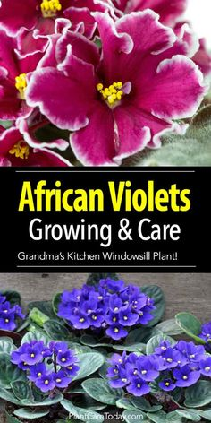 African violet care for the Saintpaulia, great houseplants for beauty and easy care. Growing, fertilizing, miniatures, questions and answers [LEARN MORE]