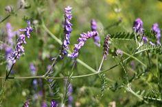 Kostenlose Bilder Luzerne von www.tOrange-de.com Tags - #Pflanze #Blume #Weiß #Unkraut #helle #Garten #Gras #Erbsen #Bohnen
