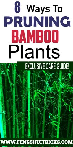 #pruningbamboo in pots does bamboo regrow when cut pruning clumping bamboo how to make lucky bamboo grow more branches if you cut #bamboo will it grow new roots topping bamboo thinning bamboo topping #luckybambooplant Bamboo In Pots, Lucky Bamboo Plants, Feng Shui Lucky Bamboo, Clumping Bamboo, New Roots, Branches, Eggplant