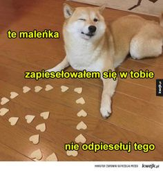 pieseł zakochany Funny Relatable Memes, Wtf Funny, Funny Quotes, Sweet Memes, Cute Memes, Cute Animal Memes, Cute Animals, Chuck Norris, Reaction Pictures