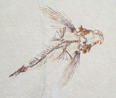 Fossil Flying Fish (Exocoetoides) From Lebanon