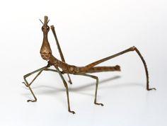 Weird Real Animals - Horsehead Grasshopper