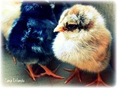 Our lil baby chicks -2010