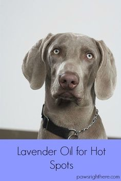 Lavender oil for hot spots. How I treated my dog's raw and irritated skin with a lavender essential oil recipe.