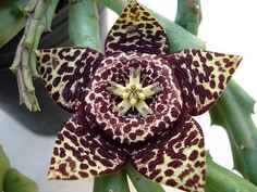 Orbea Variegata - Indigenous South African Succulent - 5 Seeds