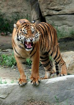 Nature Animals, Animals And Pets, Cute Animals, Big Cats, Cool Cats, Gato Grande, Cat Species, Wild Creatures, Majestic Animals