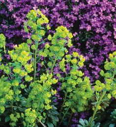 Euphorbia amygdaloides is a completely invaluable plant for growing in a shady spot to brighten up a dark corner and for picking – by the bucket – for all your spring vases of flowers. We'd be lost without this in the cutting garden. Evergreens For Shade, Shade Evergreen, Early Spring Flowers, Summer Plants, Plant Identification, Ground Cover Plants, Plant Pictures, Garden Inspiration, Garden Ideas