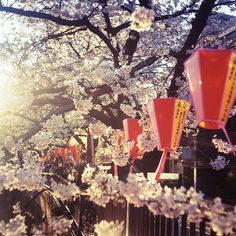 Giappone  ~ Meguro River - Cherry Blosson and Japanese Lanterns