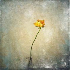 Yellow Rose is a painterly textured iPhoneography still life floral image processed using textures from both Snapseed and Stackables. Its inspiration stems from Skipology selecting Stackables as app of the week this week.