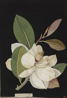 Magnolia Grandiflora, Paper 'mosaik' by Mary Delaney, 1776 http://www.britishmuseum.org/research/collection_online/search.aspx?people=127351=127351-2-9=10