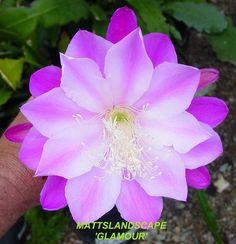 Epiphyllum hybrid 'Glamour'