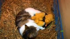#Mother_Cat_Suckles_Ducklings! One surprise follows another in this wonderful warm story of a mother cat and her odd family. What a warm fuzzy! This video will blow you away.  http://www.womanyes.com/mother-cat-suckles-ducklings/