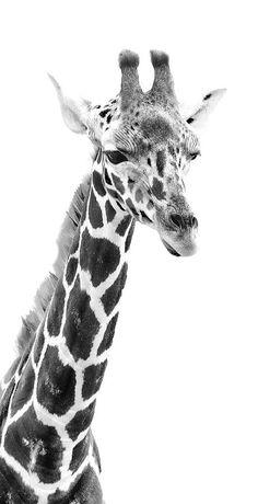 Giraffe Photograph - Long Neck Giraffe Bw by Athena Mckinzie Giraffe Images, Giraffe Pictures, Animals Images, Nature Animals, Baby Animals, Cute Animals, Baby Elephants, Wild Animals, Giraffe Drawing