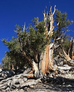 The oldest tree on earth, great basin bristle cone pine, Oldest trees, over 5000 years old, in California. This tree is protected by the National Parks Dept