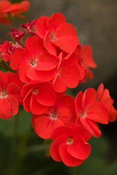 Red Flowers by Kurozumi, via Flickr