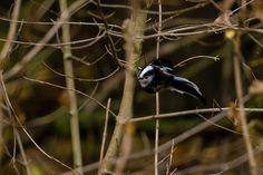 Claes`s Photo blog: song birds in flight