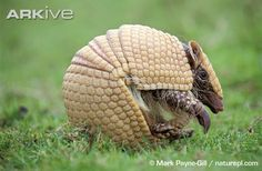 armadillo wallpapers hd - Buscar con Google