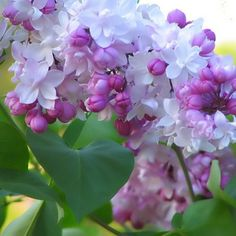 Syringa vulgaris 'Beauty of Moscow' (Lilac). One of the most beautiful, very fragrant, lilacs with dense clusters of flowers.
