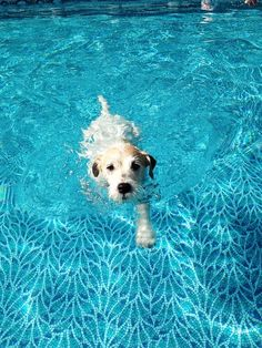 Jack Russell in a swimming pool