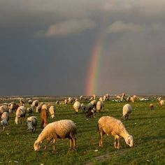 Sheep grazing at the end if the rainbow near  Rahat, Israel...beautiful