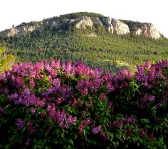 Mount Helena over the lilacs...gotta love it! Montana is GREAT!