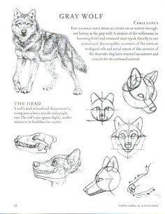 Wolf Anatomy *Refrences Included* : Balto Fan art
