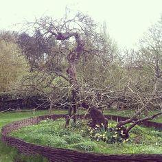 Isaac Newton un kütle çekimini bizzat bu elma ağacının altında otururken keşfettiğini biliyormuydunuz !! anıt ağaç olarak ciddi koruma altında ...