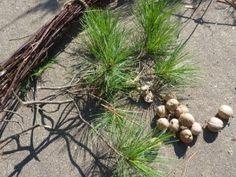 magical tea-pine,birch,hickory,maple