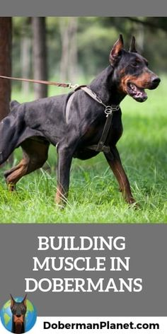 Here& all about how you can build muscle, definition, and stamina in a Doberman Pinscher. The post How to Build Muscle in Dobermans appeared first on Ross Steele Dog School. Doberman Collar, Doberman Rescue, Doberman Pinscher Puppy, Doberman Love, Doberman Breeders, Doberman Training, Dog Training, Weimaraner, Rottweiler