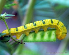 cloudless sulphur caterpillar @ Southern Meadows: Partridge Pea